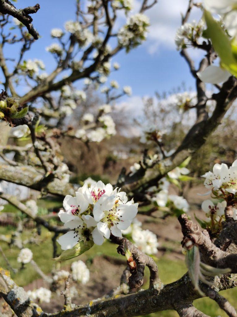 Blüte der Naschi-Birne
