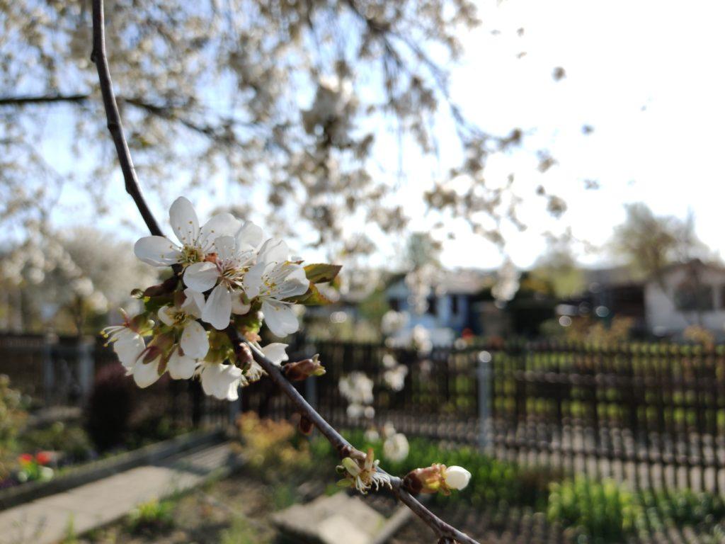 Weiße Kirschblüte